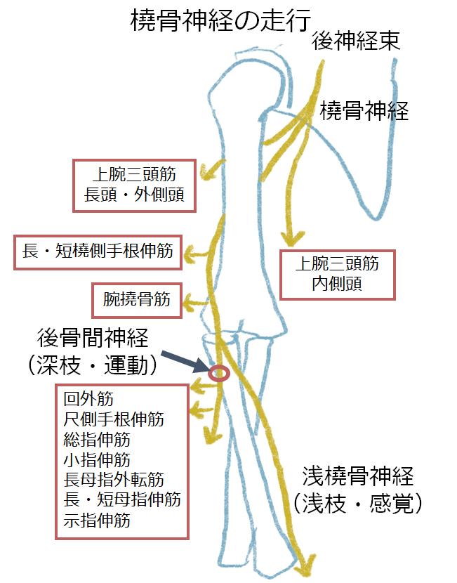 橈骨神経麻痺 radial nerve palsy
