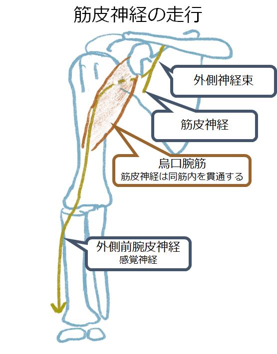 筋皮神経障害 musculocutaneous nerve palsy