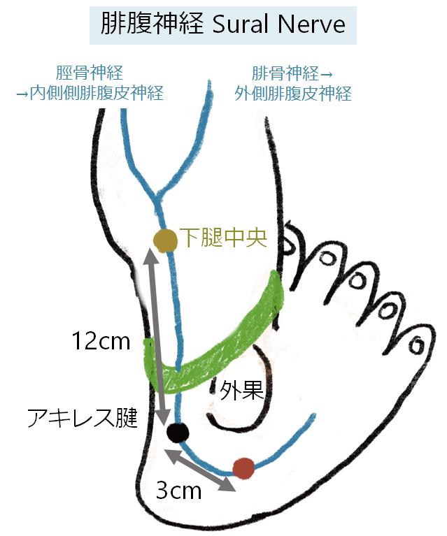 神経伝導検査 下肢