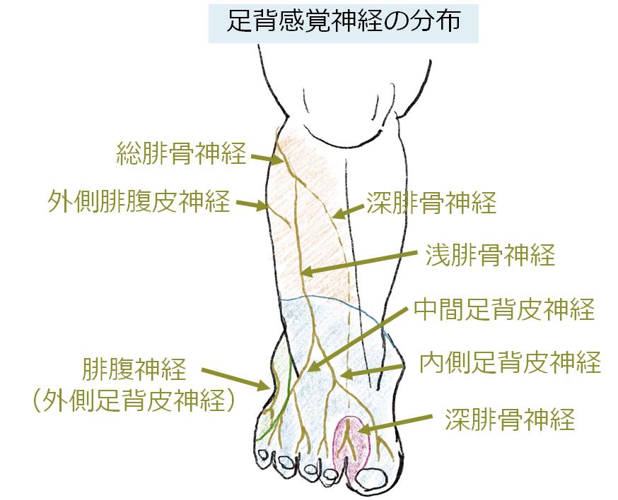 足の感覚神経まとめ